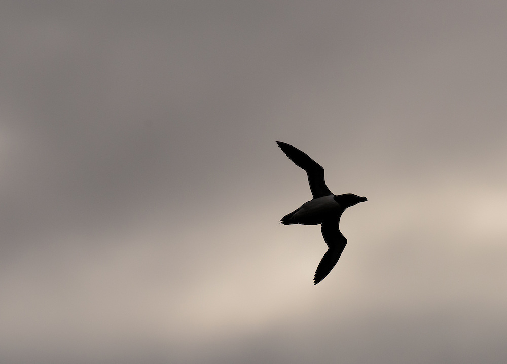Razorbill in flight against looming sky