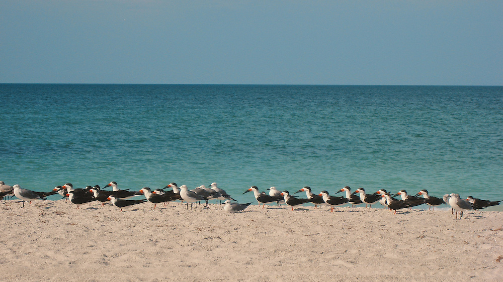 Black Skimmers and Black Skimmers gather to breed on Gaparilla Island, Florida.