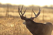 Large mule deer buck with broken tine.
