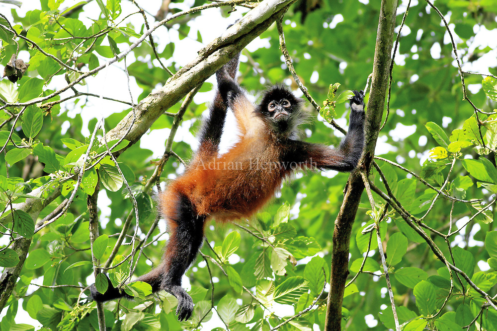 The Central American Spider Monkey has a stronger prehensile tail than any other mammal in the world. The tail can support the monkey&acirc;€™s entire body weight and the animals uses it, along with powerful arms, to swing almost effortlessly through the canopy. When these animals travel with their tail and four limbs in constant motion, it is easy to understand how their common name originated. Photographing this species is demanding because they are almost always on the move. I got a clear shot of this individual in Corcovado National Park when it seemed to pause for thought in mid-swing.<br /> <br /> For sizes and pricing click on ADD TO CART (above).