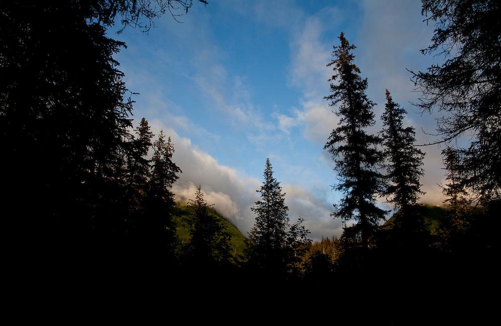 Alaska2010.-Fur trees near Homer AK.