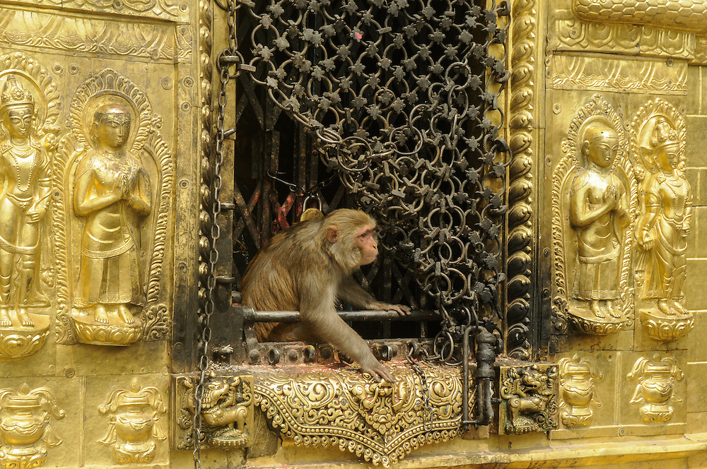 Monkey stealing food from the Swayambhunath temple, also called monkey temple, Kathmandu, Nepal.