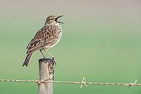 Singing Agulhas Long-Billed Lark, Bredasdorp, Overberg, Western Cape, South Africa,