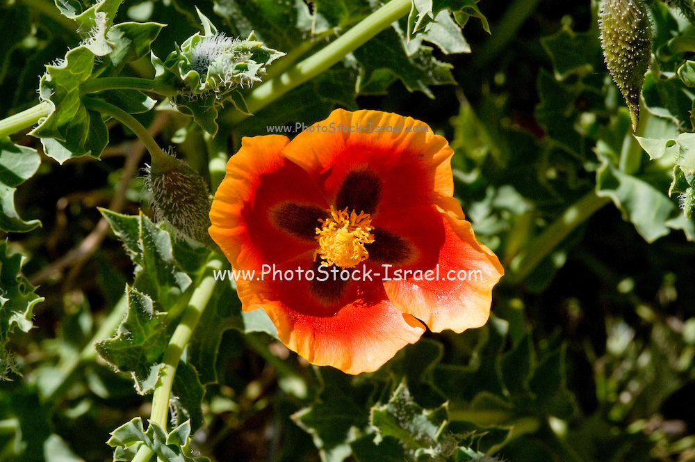 Israel, Hermon Mountain Glaucium oxylobum AKA Mountain Horned-Poppy