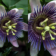 Passiflora, known also as the passion flowers or passion vines, is a genus of about 550 species of flowering plants, the type genus of the family Passifloraceae.<br /> <br /> The &quot;Passion&quot; in &quot;passion flower&quot; refers to the passion of Jesus in Christian theology,showing most elements of the Christian symbolism.<br /> <br /> Colorful  Passion flower in outdoor Jefferson Market Garden in New York City.<br /> <br /> ____________________________<br /> <br /> The Jefferson Market Garden is situated on a triangular city block, this 0.4-acre garden has been under the care of community volunteers since its inception in 1974.<br /> <br /> From 1931 to 1973 the Women&rsquo;s House of Detention sat adjacent to the courthouse, on the site of the current garden. Upon the demolition of the prison, the site was transferred to the New York City<br /> <br /> Tucked away in the shadow of the Jefferson Market Library, from April to October this beautiful, well-kept garden oasis is open to the public.