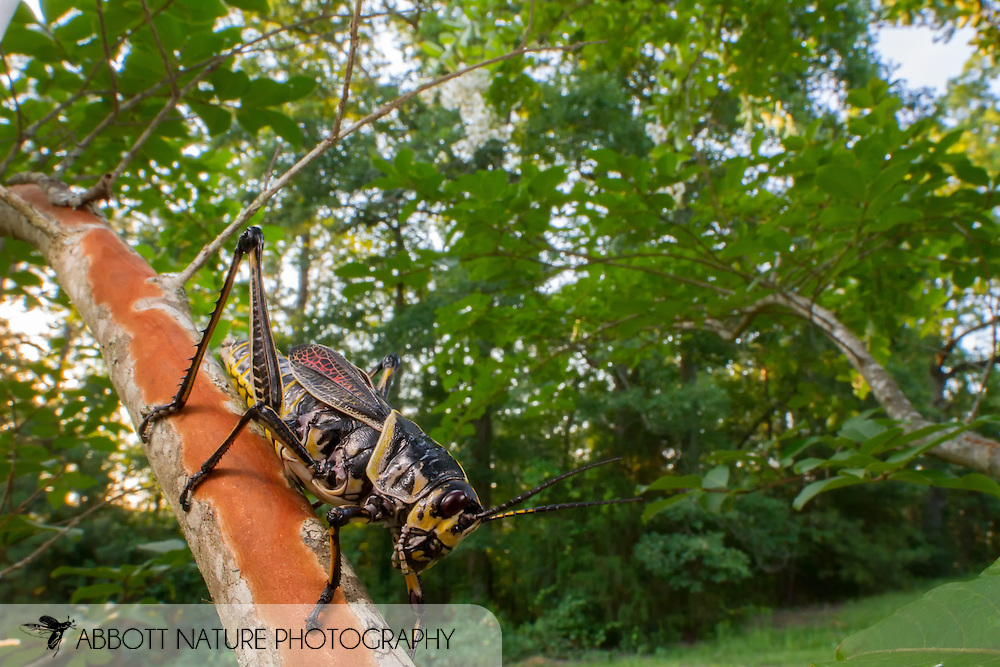 Eastern Lubber Grasshopper (Romalea microptera)<br /> ALABAMA: Tuscaloosa Co.<br /> Tulip Tree Springs off Echola Rd.; Elrod<br /> 3-July-2016<br /> J.C. Abbott #2843&amp; K.K. Abbott