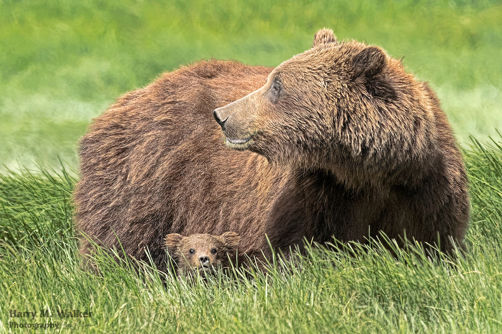 Brown bear sow with tiny cub (Ursus arctos) in sedge meadow at Hallo Bay in Katmai National Park Alaska