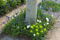 Bulbs planted around the base of trees in The Lime Walk at Sissinghurst Castle Garden in spring