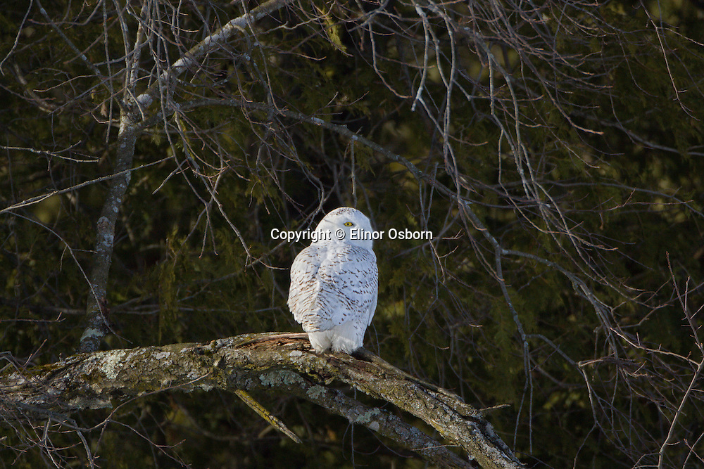 Snowy Owl perched at forest edge