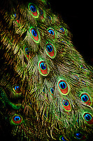 A close-up of a peacock's stunning tail feathers.