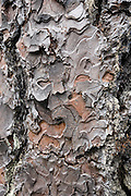 Tree bark pattern. Wenaha River Trail, Blue Mountains, Umatilla National Forest, Oregon, USA.