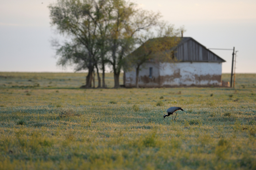 Mission: Saiga .A demoiselle crane in front of an abandoned farmhouse near Cherniye Zemly (Black Earth) Nature Reserve, Kalmykia, Russia, April 2009  (Anthropoides virgo).