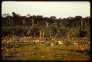 Herd of cattle grazes in deforested pastures of Amazon ranch at sunset; Eirunepe, Amazonas Brazil