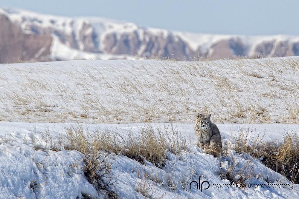 Bobcat in snow;  South Dakota, in wild.