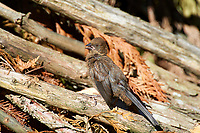 Spotted Towhee (Pipilo maculatus) - juvenile, Gabriola, British Columbia, Canada.    Photo: Peter Llewellyn