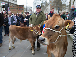 © Licensed to London News Pictures. 23/03/2016. London, UK. Livestock is displayed opposite Downing Street as farmers demonstrate in London in support of the farming sector. Photo credit: Peter Macdiarmid/LNP