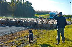 O caminho para quem segue ao extremo norte da Nova Zelândia proporciona imagens inusitadas e bucólicas. Em uma país conhecido pela força na agricultura e pecuária, cenas como a da foto são comuns. Em uma ensolarada manhã, um pastor acompanhado de seu cão observa o deslocamento das ovelhas de uma propriedade a outra, interrompendo o trânsito na rodovia. FOTO: Lucas Uebel/Preview.com