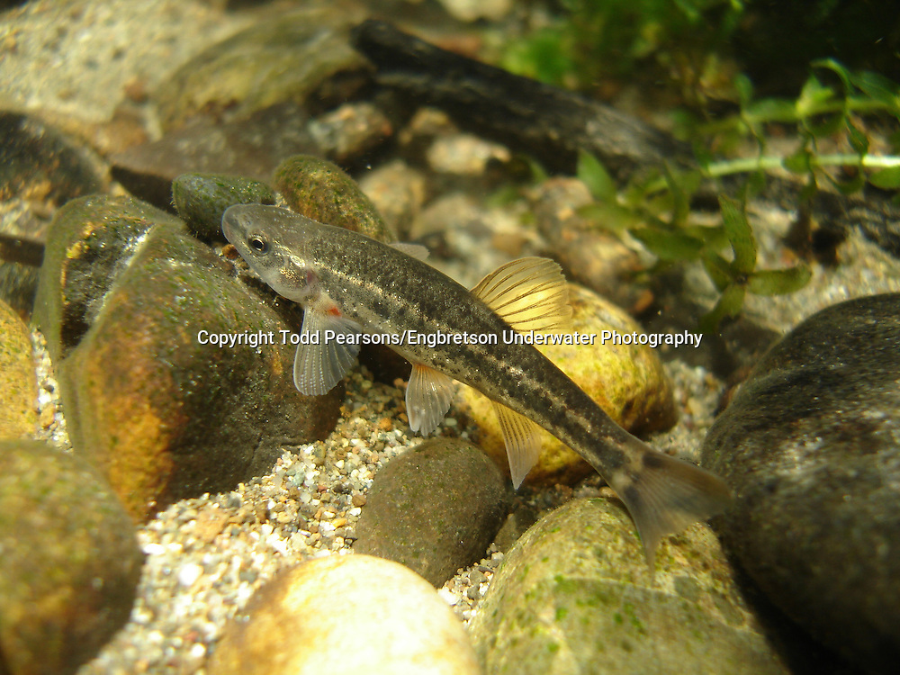 Speckled Dace<br />