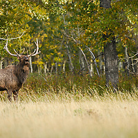 muddy river bottom bull elk bugling in fall colored cotton woods in front of long dry prarie grass