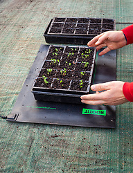 Placing tray of seedlings on heated mat propagator on greenhouse bench to provide bottom heat