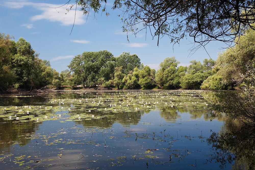 Backwater of Latorica River with water Lilies, Nymphaea alba, Eastern Slovakia, Europe, Latorica Altwasser mit Seerosen, Nymphaea alba, Slowakei, Europa