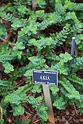 Akia, Limahuli Garden and Preserve, Haena, Kauai, Hawaii