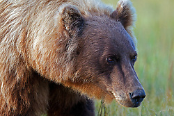 North American brown bear / coastal grizzly bear (Ursus arctos horribilis) sow stands in a field, Lake Clark National Park, Alaska, United States of America