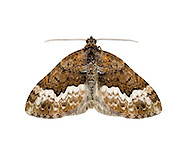 70.064 (1793)<br /> Cloaked Carpet - Euphyia biangulata