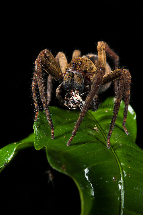 Brazilian wandering spider (Phoneutria spp.) with prey<br /> Yasuni National Park, Amazon Rainforest<br /> ECUADOR. South America<br /> HABITAT & RANGE: Ground dwellers of the tropical forest of Central and South America