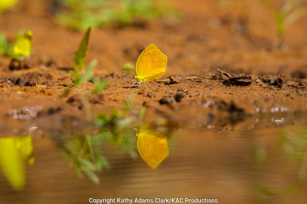 Tailed orange, Tailed Orange, Eurema proterpia, San Jose Ranch, near Laredo, Texas.