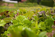 Shallow depth of field of vegetables.