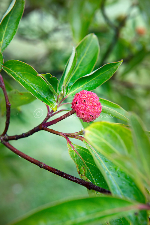 Cornus capitata (Bentham's cornel, Himalayan dogwood) red fruit