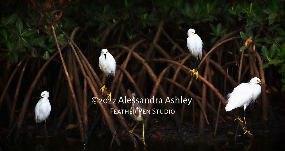 A gathering of wading birds in a quiet moment, on the lookout for the next meal while perched among the mangroves at low tide. A blend of realism and painterly effects. Photographed at Ding Darling National Wildlife Refuge, Sanibel Island, FL. Image placed as semifinalist in North American Nature Photography Association (NANPA) 2016 Showcase competition, Altered Reality category.