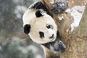 Panda in tree looking down, snow on it's face and on tree.