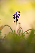 Wild grape hyacinth (Muscari commutatum). Photographed in Israel in March