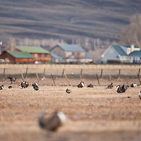 A visible of urban housing develop looming in background as males Gunnison sage-grouse put on a display early in the morning during a springtime at Mill Creek Ranch in Gunnison, CO. Gunnison sage-grouse is now numbered about 2,500 birds found in Colorado and Utah.