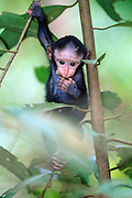 This 10 days old Celebes Crested Macaque is exploreing his surroundings. | Immer wieder erkundet der 10 Tage alte Schopfmakake seine Umgebung.