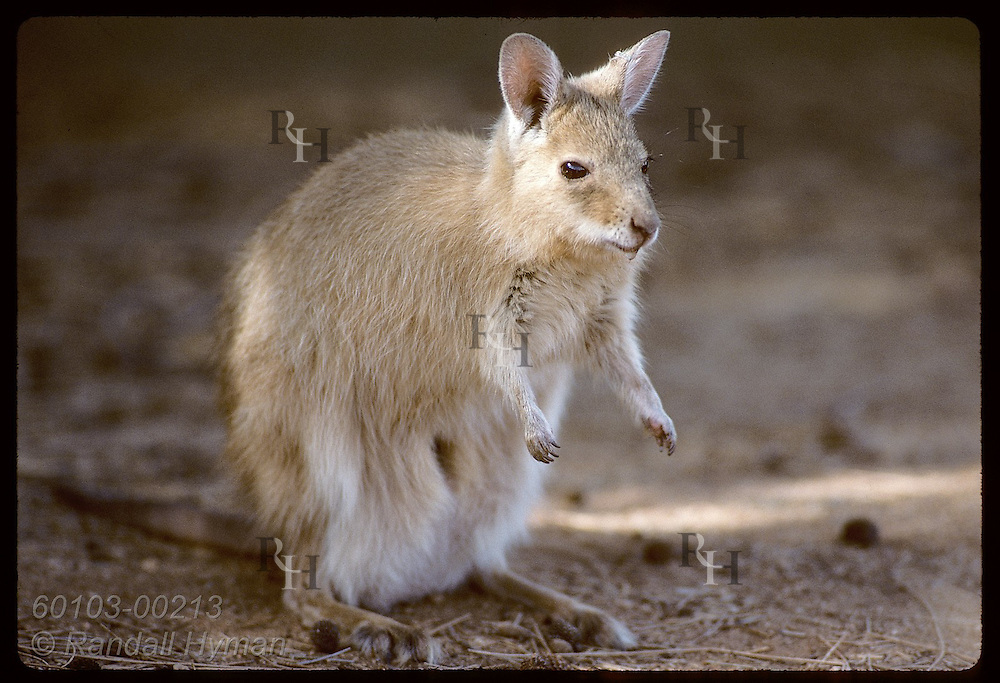 Endangered female mala, or rufous hare-wallaby, pauses in morning sun;(h) Conserv Comm of NT/Alice Australia