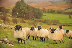 Mayo Blackface Sheep