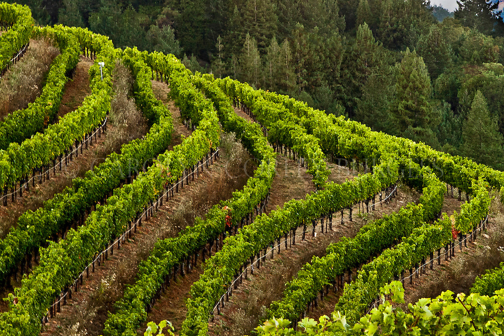 terraced hillside vineyard on Spring Mountain. Saint Helena, California. Napa Valley.