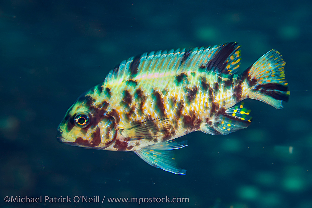 A female Metriaclima sp. Zebra Cichlid swims near Taiwanee Reef, Lake Malawi, Malawi, Africa. This orange blotched color pattern is very common at this location.