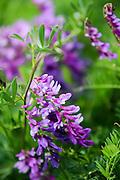 Purple wildflowers. Photographed in Armenia