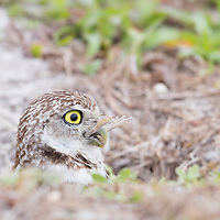 Burrowing owl (Athene cunicularia) emerged from burrow in early morning, while in the process of swallowing a large frog. A wise owl knows it's best to complete unpleasant tasks early in the day! Published as Photo of the Day / Editor's Pick by Smithsonian magazine on 07.29.16.