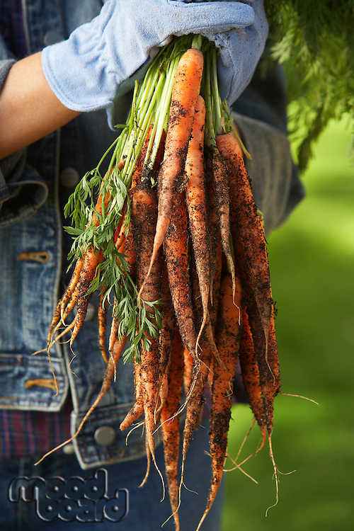 Person holding bunch of carrots outdoors, mid section