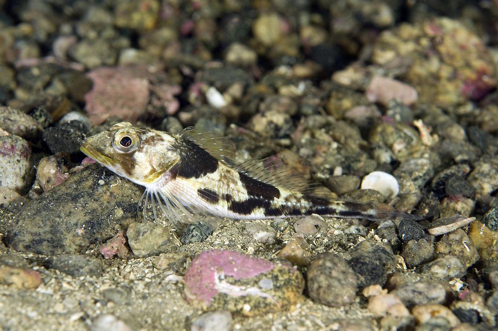 Moustace Sculpin (Triglops murrayi). Location: Lysefjorden, Norway