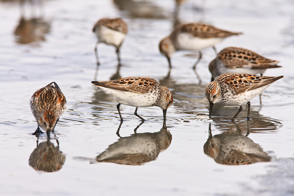 Western Sandpipers (Calidris mauri) forage on the tidal flats of Hartney Bay near Cordova in Southcentral Alaska  during high tide to refuel on their long spring migration to the arctic. Evening.
