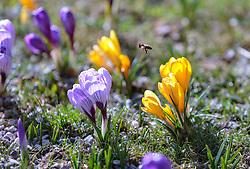 THEMENBILD - eine Biene fliegt über einer Krokuswiese, aufgenommen am 13. März 2018, Piesendorf, Österreich // a bee flies over a crocus meadow on 2018/03/13, Piesendorf, Austria. EXPA Pictures © 2018, PhotoCredit: EXPA/ Stefanie Oberhauser