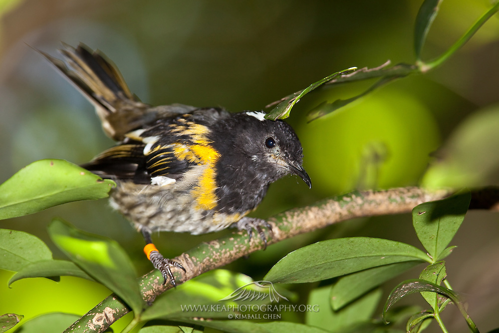 "Stitchbird in its typical ""tail-cocked"" position, in the forest of Tiritiri Matangi, New Zealand."