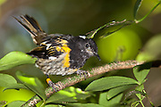 """Stitchbird in its typical """"tail-cocked"""" position, in the forest of Tiritiri Matangi, New Zealand."""