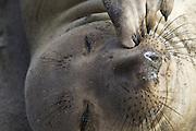Northern Elephant Seal<br /> Mirounga angustirostris<br /> Isla San Benito, Baja California, Mexico
